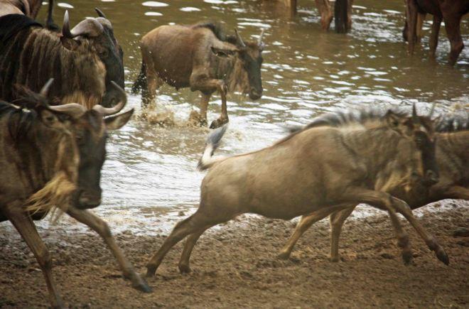 Wildebeast Migration 2
